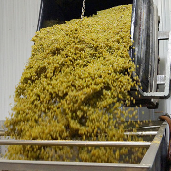 sanitise the crushing bins in your winery before tipping grapes in